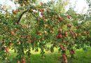 Met de juiste boomverzorging genieten van een goed gevulde fruitboom